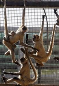Spider monkeys are seen in a zoo in Riyadh